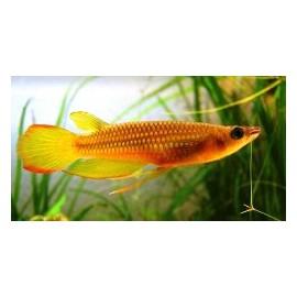 Panchax Amarillo 4 cm.